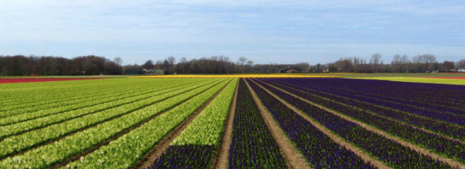 Tulip fields Holland Netherlands